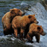 Alaska grizzly bears fishing.