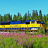 Train and fireweed just south of Fairbanks.